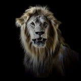 Male African Lion Portrait Front. Male African Lion Portrait Low Key front Stock Image