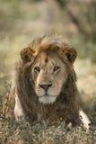 Male African Lion Portrait, Ndutu, Serengeti, Tanzania. Large Adult Male African Lion Portrait, Ndutu, Serengeti, Tanzania Stock Photography