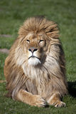 Male African Lion Royalty Free Stock Photography