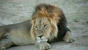 Male African lion resting stock video footage