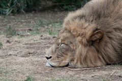 Male African Lion Sleeping. Portrait of Male African Lion Sleeping on Ground royalty free stock photography