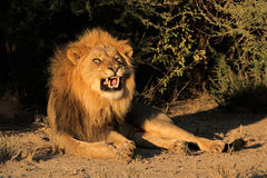 Male African lion snarling Royalty Free Stock Image
