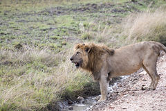 Male African lion standing Royalty Free Stock Photography