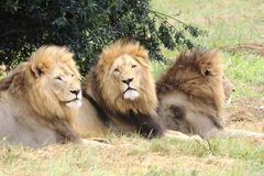 Male african lions. Three wild male african lions photographed close up Royalty Free Stock Photography