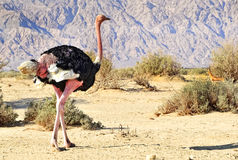 Male of African ostrich Stock Photos