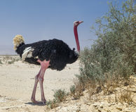 Male of African ostrich (Struthio camelus) Royalty Free Stock Photography