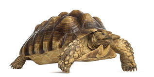 Male African spurred tortoise, Centrochelys sulcata Stock Image
