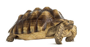 Male African spurred tortoise, Centrochelys sulcata Stock Photo