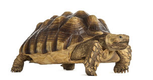 Male African spurred tortoise, Centrochelys sulcata. Male African spurred tortoise (4 years old), Centrochelys sulcata, in front of a white background Stock Image