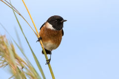 Male African Stonechat in bright colours sitting on grass stem r. Eady to fly (Saxicola torquatus Stock Photography