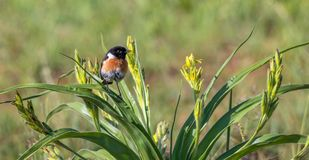 Male African stonechat perched on a bush