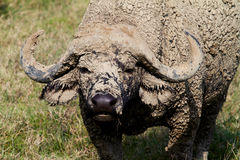 Male African water buffalo covered with mud Royalty Free Stock Images