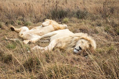 Male African white Lion (panthera leo) resting Stock Photography