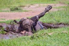 Male African (Cape) Buffalo Mud Wallowing Royalty Free Stock Photo