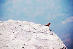 Male agama on cliffside rock stock images