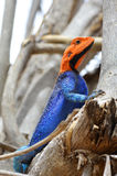 Male Agama lizard. On a tree in the Ruaha National Park, Tanzania Royalty Free Stock Image