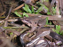 Agile frog. Male of agile frog (Rana dalmatina) heading to reproduction pond Royalty Free Stock Image