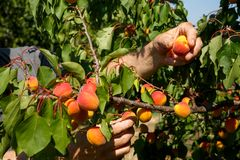 Male agronomist or farmer hands controlling or picking apricot fruits in an orchard on a bright summer day. Male agronomist or farmer hands controlling or Stock Image
