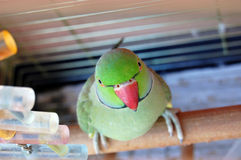 Male Alexandrine parakeet. Funny male alexandrine green parrot in the cage Stock Photos