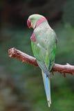male Alexandrine Parakeet. Green parrot bird, a male Alexandrine Parakeet (Psittacula eupatria), back profile Stock Images