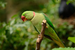 Male Alexandrine Parakeet (Psittacula eupatria). Beautiful male Alexandrine Parakeet (Psittacula eupatria) in Thai forest Royalty Free Stock Photos