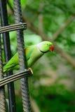 Male Alexandrine Parakeet (Psittacula eupatria) Stock Photography