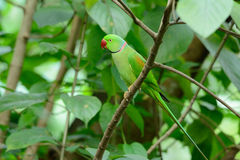 Male Alexandrine Parakeet (Psittacula eupatria) Royalty Free Stock Photos