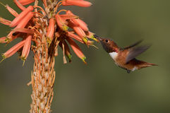 Male Allen`s Hummingbird. royalty free stock images
