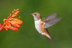 Male Allens Hummingbird (Selasphorus sasin) Royalty Free Stock Photos