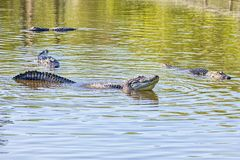 Male Alligator Creating Faraday Waves During A Mating Call Amidst Females. Male alligator creating faraday waves during a mating call amidst three females royalty free stock images