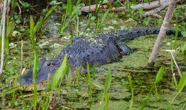 Male Alligator. On Lake Panasoffkee Stock Photo