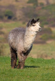 Male Alpaca on a farm in England Stock Photos
