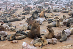 The male alpha. In colony seals. Namibia Stock Images