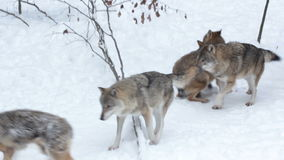 Male alpha wolf submits a lower-ranking wolf. stock video footage