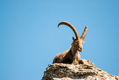 Male alpin ibex royaltyfri bild