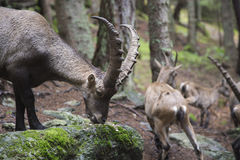 Male alpine ibex eating from a rock Stock Images