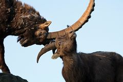 Alpine ibex. Male Alpine ibex fighting with each other stock image