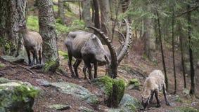 Male alpine ibex grazing Stock Photos
