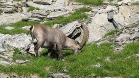 Male alpine ibex grazing Stock Images