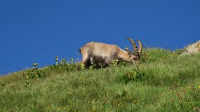 Male alpine ibex grazing on a mountain meadow Stock Photo