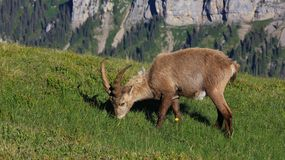 Male alpine ibex grazing on a mountain meadow Royalty Free Stock Image