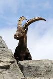 Male Alpine Ibex Royalty Free Stock Images
