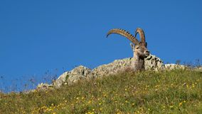 Male alpine ibex resting on a mountain meadow. Alpine ibex resting on a mountain meadow full of wildflowers stock photos