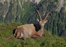 Male alpine ibex resting on a mountain ridge Royalty Free Stock Photography