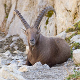 Male alpine ibex, Switzerland Stock Image