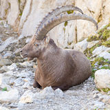 Male alpine ibex, Switzerland Royalty Free Stock Images