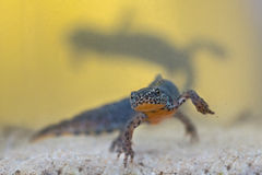 Male Alpine Newt with female in backdrop Stock Image