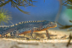 Male Alpine Newt in a pool Stock Photos