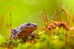 Male Alpine Newt Walking through a Field of Moss Stock Photos