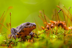 Male Alpine Newt Walking through a Field of Moss Stock Images